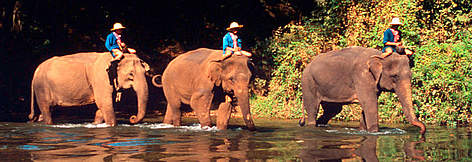 Indian elephants (Elephas maximus bengalensis) carrying their trainers across a river at the Thai ... rel=