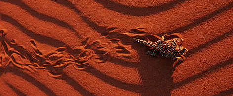 Thorny devil (<i>Moloch horridus</i>) making tracks in the sand, endemic to desert ... rel=