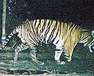 A WWF camera trap captures a male tiger missing the lower half of his right front leg. Tesso Nilo National Park, central Sumatra, Indonesia.