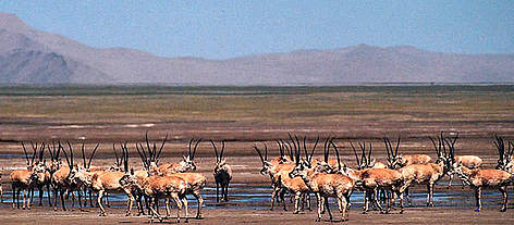 Chiru or Tibetan antelope (<i>Pantholops hodgsonii</i>). A large herd on the Aqik Lake ... rel=