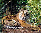 Indonesia has an estimated 400-500 tigers left in the wild in Sumatra. The Java and Bali tigers have both gone extinct due largely to illegal killing for trade and loss of habitat.