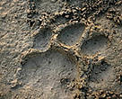 Footprint of a Bengal tiger in the Royal Bardia National Park, Terai Arc, Nepal.