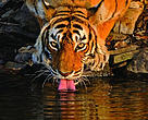 Poaching is the greatest threat to wild tigers today.