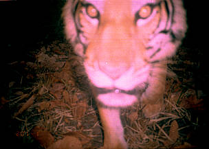 A tiger close up to the camera, sniffing it, caught by the flash, image is slightly blurred. / ©: WWF Cambodia /SWA Project Staff