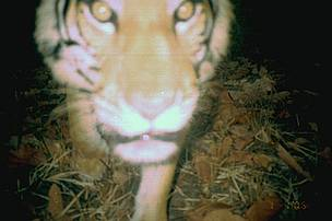 Wild tiger photographed by camera-trap inside the Mondulkiri Protected Forest. Over 160 camera-traps are deployed across the protected landscape to monitor tigers and other wild animals.