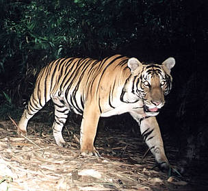 Tiger captured on film in Malaysia  	© WWF-Malaysia / Mark Rayan
