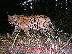 A tiger photographed by camera trap in Parsa Wildlife Reserve in Nepal.