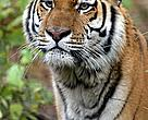 Amur or Siberian Tiger