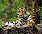 Tiger (Panthera tigris) lying down on rocks, India.