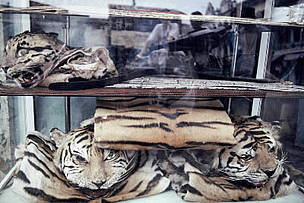 The skins of Indochinese tiger (Panthera tigris corbetti) and other rare cats are openly displayed ...  	© WWF / Adam OSWELL