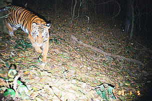Tiger on Camera Trap at Kuiburi National Park