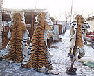 Confiscated Siberian tiger skins.