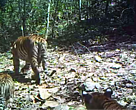A female tiger photographed with her cubs (a third cub is out of frame) by one of WWF-Thailand's camera traps.