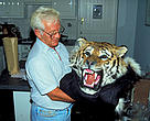 Illegal wildlife trade. Tiger (<i>Panthera tigris</i>), skin seized at customs.