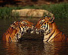 Indian tigers in water