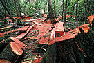 Illegal logging in the lowland rainforest. Highly quoted cedro tree (Cedrela odorata), Department Madre de Dios, Peru.
