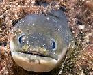 The European Eel  (Anguilla anguilla)