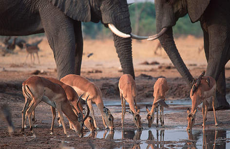 Caption: Impala, Aepyceros melampus, drinking at waterhole, together with African elephants. Chobe ... rel=