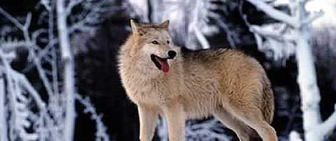Grey wolf (<i>Canis lupus</i>) In the snow, United States of America. rel=