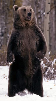 Grizzly bear standing in the snow, Rocky Mountains, USA. / ©: WWF / KLEIN & HUBERT