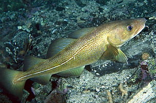 Baltic Sea cod