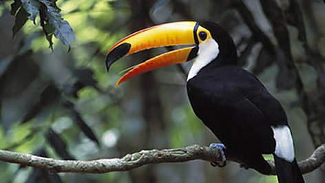 toucan_iguazu_fall_national_park_gavriel