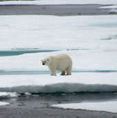 A polar bear on the pack ice. Svalbard, Norway.