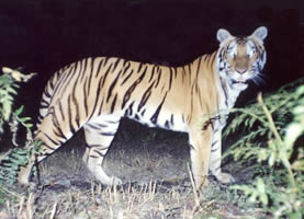 Tiger photographed in the Suklaphanta Wildlife Reserve, Nepal. The local name of the tiger is ...  	© WWF Nepal