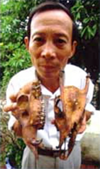 Researcher holding two skulls of the never seen Truong Son muntjac (<i>Truong Son ...  	© WWF-UK