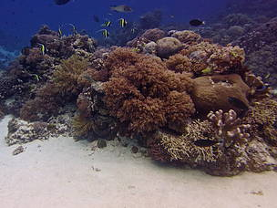 Tubbataha with Moorish Idols by JML Tan