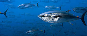 Is Europe swimming away from commitments on bluefin tuna?