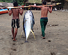 Tuna on way to market