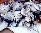The 2007 quota for Mediterranean bluefin tuna is more than double that recommended by scientists to avoid the high risk of collapse.