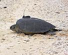 Green Turtle with Satellite Tracking Applicator, Cahn Bay, Vietnam