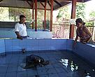 Olive ridley turtle being raised for traditional Hindu use.