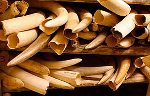 The number of ivory seizures worldwide averages 92 cases a month, or three per day.
