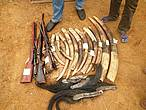 Ivory tusks, elephant tails and weapons seized from poachers who were sentenced to 30 months in prison.  © wWF / Messouas Bapen Philisten