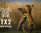 Tx2 Double wild tigers