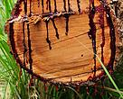 "The kiaat tree (Pterocarpus angolensis, also called ""bloodwood"") releases red sap when cut."