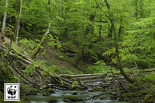 Ukraine, ugolka, virgin forest