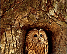 Owl in an old oak in Stockholm National City Park