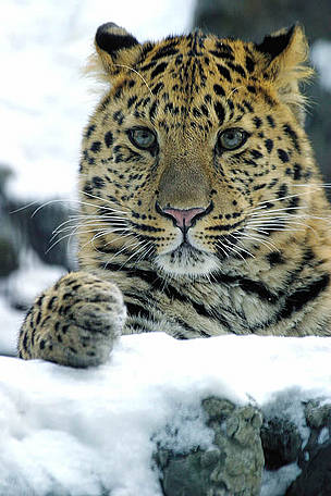 Boost for Asian big cats