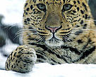 Amur Leopard, located in the Russian Far East. As of mid-2008, only 35 remain in existence.