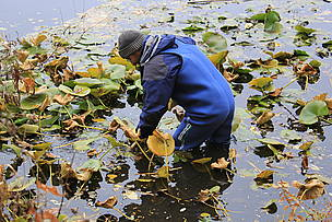 Conservationists expect that gradually the number of water lilies will begin to increase naturally.