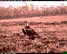 Vulture captured on camera trap in Cambodia's Eastern Plains Landscape.
