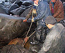 Members of the Umky Patrol use ropes to rescue a trapped baby walrus.
