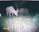 Water buffalos caught on camera in 2005 in the core zone of Mondulkiri protected forest