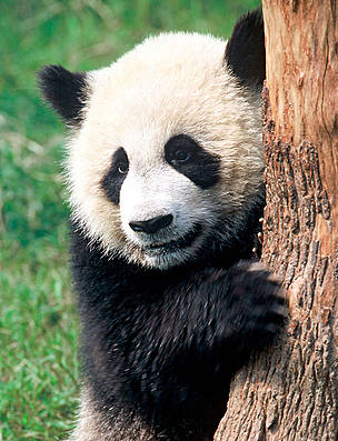 new survey shows increase in wild panda numbers wwf