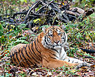 An Amur tiger resting.  The world's largest cat, Amur tigers are found only in Northeastern China and the Russian Far East