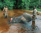 Forest Elephant killed by poachers being inspected by game guards. Dzanga-Ndoki National Park, Central African Replublic (CAR).